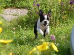 Chien Rosco - Terrier de Boston Femelle (10 mois)