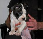 Chien Sargie (Sergeant-Major - Terrier de Boston Mâle (3 mois)