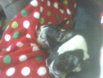 Chien Trouble And Tinker - Terrier de Boston Femelle (14 ans)