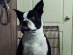 Chien Congo - Terrier de Boston Mâle (4 ans)