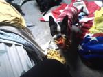 Chien Oreo - Terrier de Boston Mâle (2 ans)