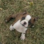 Chien Bubbles - Terrier de Boston Femelle (0 mois)