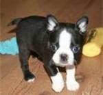 Chien sarge - Terrier de Boston Mâle (1 mois)