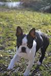Chien Ilton - Terrier de Boston Mâle (4 mois)
