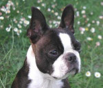 Chien Terrier de Boston - Terrier de Boston  (0 mois)