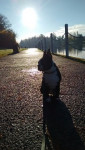 Chien rio - Terrier de Boston Femelle (6 mois)