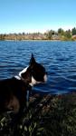 Chien Rio - Terrier de Boston Femelle (7 mois)