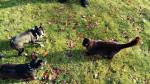 Chien rio and jaxx - Terrier de Boston Femelle (7 mois)