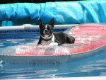Chien Boston terrier - Pixie - Terrier de Boston  ()