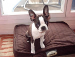 Chien Boston Terrier BIKINI - Terrier de Boston  ()