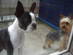 Chien Boston Terrier BIKINI et Yorkshire ANIS - Terrier de Boston  ()