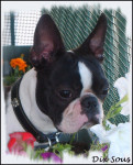 Chien Boston Terrier \
