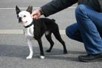 Chien Terrier de Boston - Terrier de Boston  (0 mois)