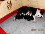 Chien Buddy - Terrier de Boston Mâle (1 mois)