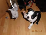 Chien Buddy - Terrier de Boston  ()