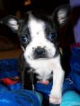 Chien Alex - Terrier de Boston Mâle (1 mois)