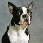 Chien Buddy - Terrier de Boston Mâle (4 ans)