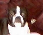 Chien sable - Terrier de Boston Femelle (4 mois)