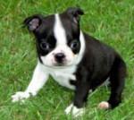 Chien Cutie Pie - Terrier de Boston Femelle (4 mois)