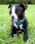 Chien oreo - Terrier de Boston Femelle (4 mois)