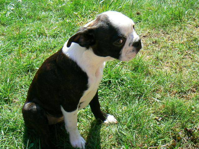 Chien Terrier de Boston - Terrier de Boston  ()