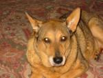 Chien Sandy - Bouvier australien Femelle (13 ans)