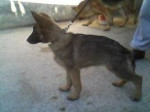 Chien tito - Berger Allemand Femelle (3 mois)