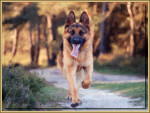 Chien Ricky al paseo - Berger Allemand  ()