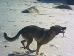 Chien Dundee des terres d\'avalon - Berger Allemand Femelle (2 ans)