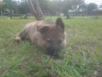 Chien Ivory - Berger Allemand Femelle (2 mois)