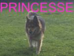 Chien princesse - Berger Allemand Femelle (12 ans)
