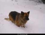 Chien berger allemand - Berger Allemand  (0 mois)