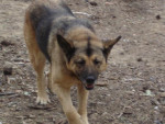 Chien malamute croise berger allemand xena - Berger Allemand  (0 mois)