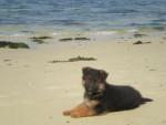 Chien Guiness, berger allemand - Berger Allemand  (0 mois)