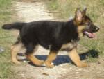 Chien SPARKY,berger allemand(mon futur chien) - Berger Allemand  (0 mois)