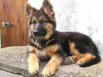 Chien Falco Berger Allemand 6 mois - Berger Allemand  (6 mois)
