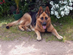 Chien Snoopy - Berger Allemand Femelle (7 mois)