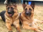 Chien bella and chasper - Berger Allemand  (3 ans)