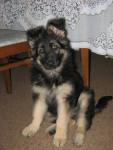 Chien Abbey(pup) - Berger Allemand Femelle (2 mois)