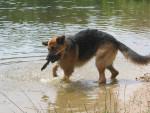 Chien Randal dans l\'eau avec un baton - Berger Allemand Femelle (0 mois)