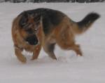 Chien Randal bataille avec la neige - Berger Allemand Femelle (0 mois)