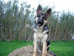 Chien Lobo 5 mois - Berger Allemand Femelle (5 mois)