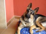 Chien Lobo 9 mois - Berger Allemand Femelle (9 mois)