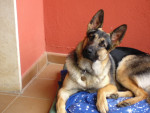 Chien Lobo 9 mois - Berger Allemand  (9 mois)