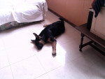 Chien FLY DES SCORPIONS INTREPIDES - Berger Allemand Femelle (4 mois)