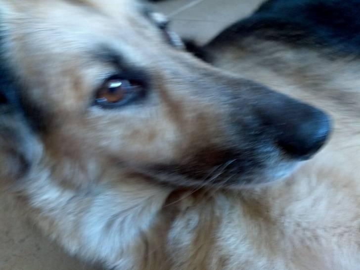 Photo layza berger allemand femelle 11 ans - Race chien volt ...