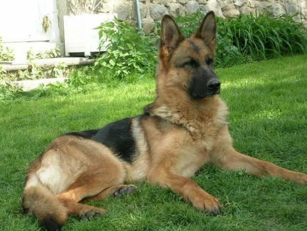 Photo bobi (chien de mon pere avant) : Berger Allemand