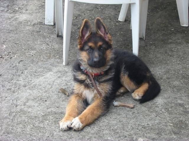 Photo Canelle - berger allemand de 3 mois : Berger