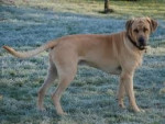 Chien Katy - Broholmer Femelle (2 ans)