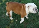 Chien tobby - Bulldog Anglais Mâle (11 ans)